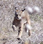 Guided Coyote & Bobcat Hunting
